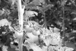 Tomaten wachsen im Gewächshaus auf dem Gelände der Malzfabrik in Schöneberg.