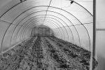 Erdbeeren sind viel früher reif, wenn sie unter Folie wachsen: Das freut die Biokunden in Berlin.